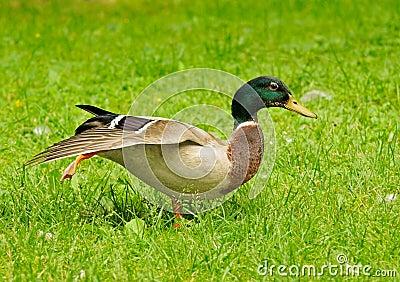 Mallard walking in grass