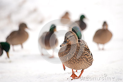 Mallard walking in the snow