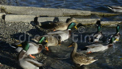 Mallard in water stock video footage