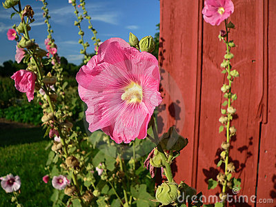 Mallow blooms