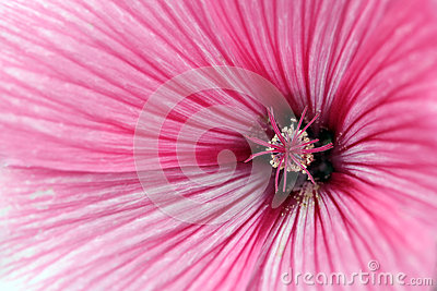 Mallow flower close up