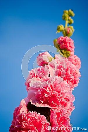 Mallow plant skyward
