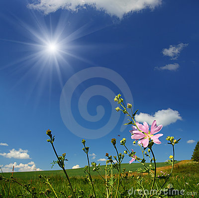 Mallow wildflower on meadow background