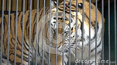 Malnyan走老虎的面孔,笼中的动物,残暴的囚禁在马戏动物园里 股票录像