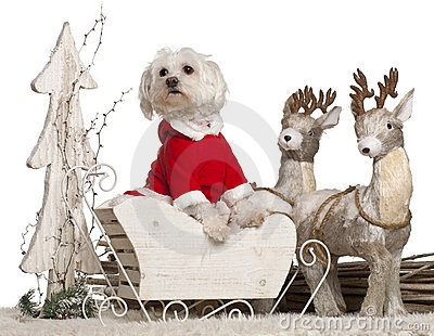 Maltese, 1 year old, in Christmas sleigh
