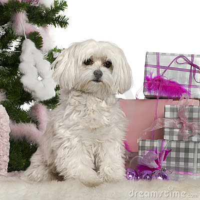 Maltese, 2 years old, with Christmas tree
