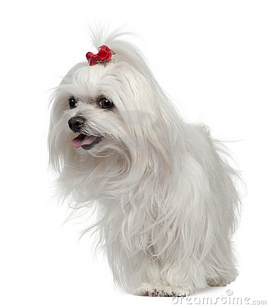 Maltese, 3 years old, standing in front of white