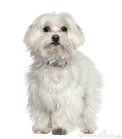 Maltese dog, 11 years old, standing