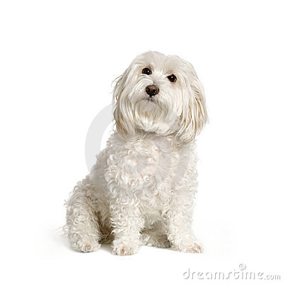 Free Maltese Dog Stock Image - 2328841