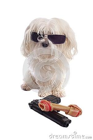 Maltese dog with a bone