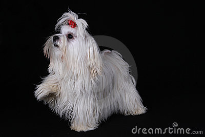 Maltese Dog with foot raised