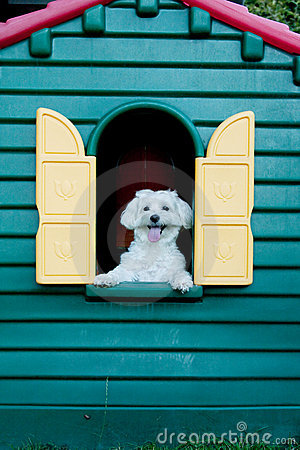 Free Maltese Dog In The Hut Royalty Free Stock Photos - 20288608