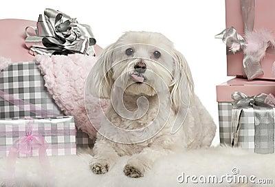 Maltese dog lying with Christmas gifts