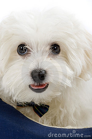 Free Maltese Dog Lying In In A Puppy Bed Royalty Free Stock Photography - 11301097