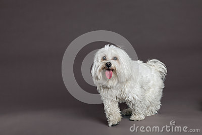 Maltese Dog Studio Portrait