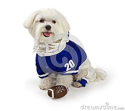 Maltese Dog waring football uniform