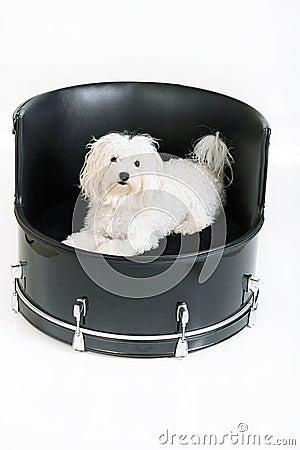 Maltese drummer dog