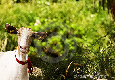 Maltese Goat