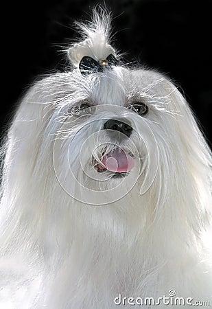 Maltese lap dog