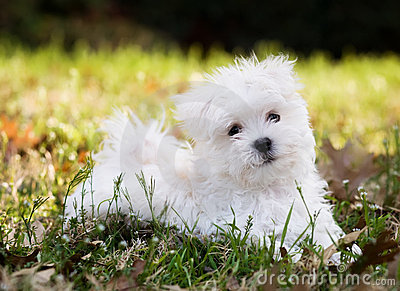 Maltese puppy (2 months old)