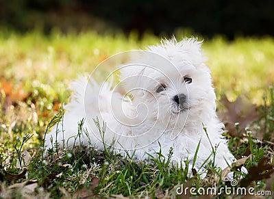 Maltese puppy (2 months old)