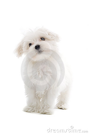 Maltese Puppy Dog Royalty Free Stock Image - Image: 4306946