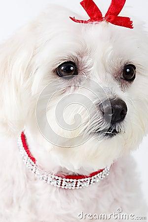 Maltese Terrier Face