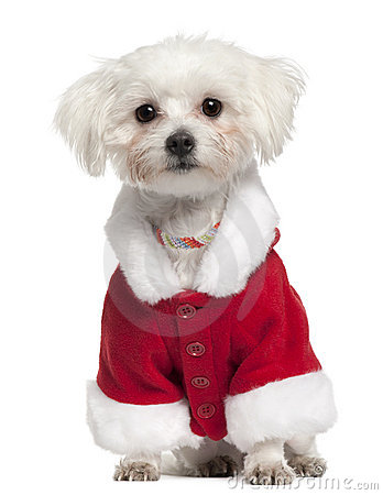 Maltese wearing Santa outfit, 18 months old