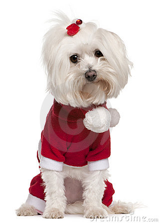 Maltese wearing Santa outfit, 4 years old