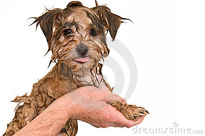 Maltese Yorkie Mix Puppy Getting a Bath