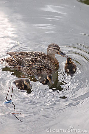 Mama Duck with Baby Ducks