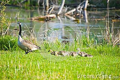Mama goose leads chicks