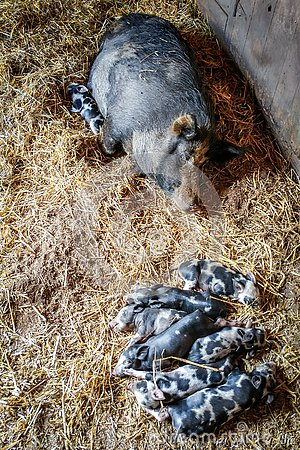 Free Mama Pig With Her Piglets Sleeping Royalty Free Stock Images - 133183789