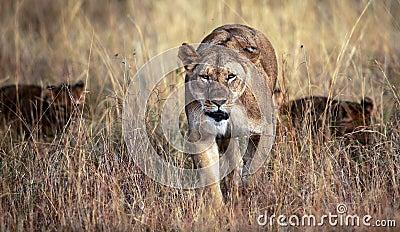 Mamma sul vagare in cerca di preda