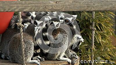 Mammal Animal Lemur. In Nature video stock video