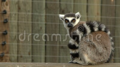 Mammal animal lemur. In nature video stock video footage