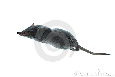 Mammal animal shrew