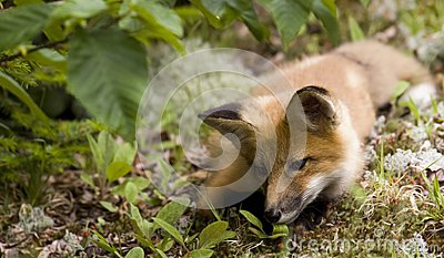 Mammal  red fox A