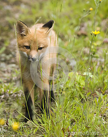 Mammal  red fox B