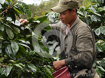 Man as a farm worker harvesting coffee berries Editorial Stock Photo