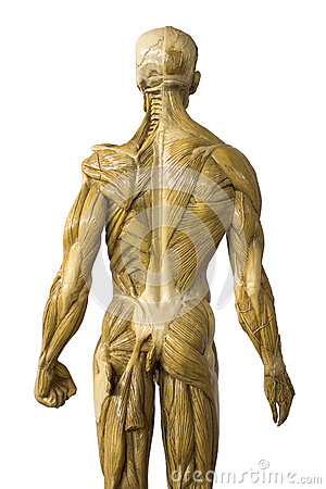 Man body model  back