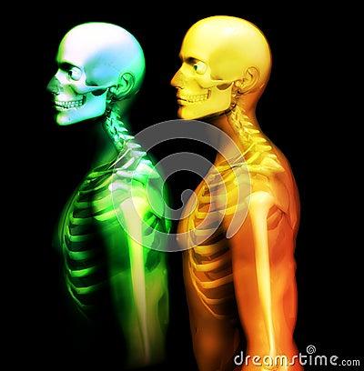 Free Man Bone 20 Royalty Free Stock Image - 1650986