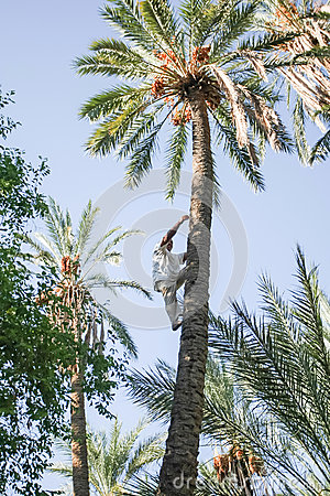Man climbing on date palm tree at oasis Editorial Photo