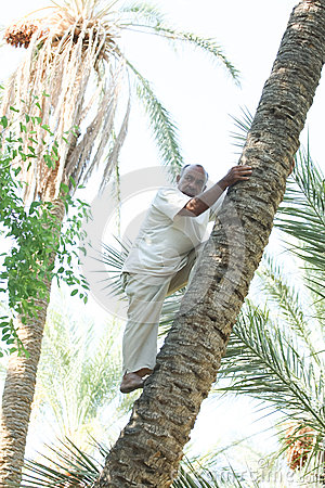 Man climbing on date palm tree in oasis Editorial Stock Image