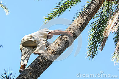 Man climbing on date palm tree Editorial Photography