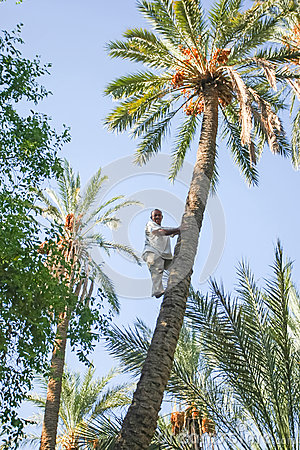 Man climbing on palm tree at oasis Editorial Photography