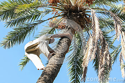 Man climbing on palm tree in oasis Editorial Image