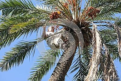 Man climbing on palm tree Editorial Image