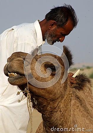 Man combing camel Editorial Image