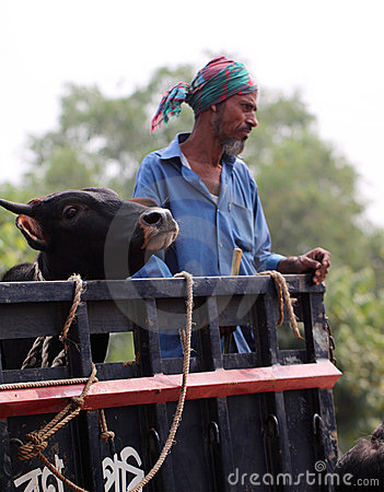 Man and cow together on a vehicle Editorial Stock Photo